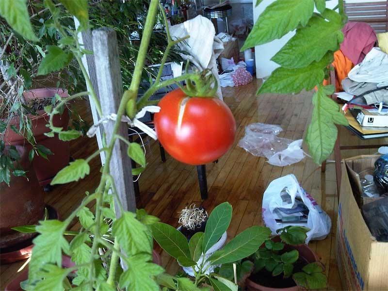Grow tomatoes indoors trusper - Indoor plants that require little care ...