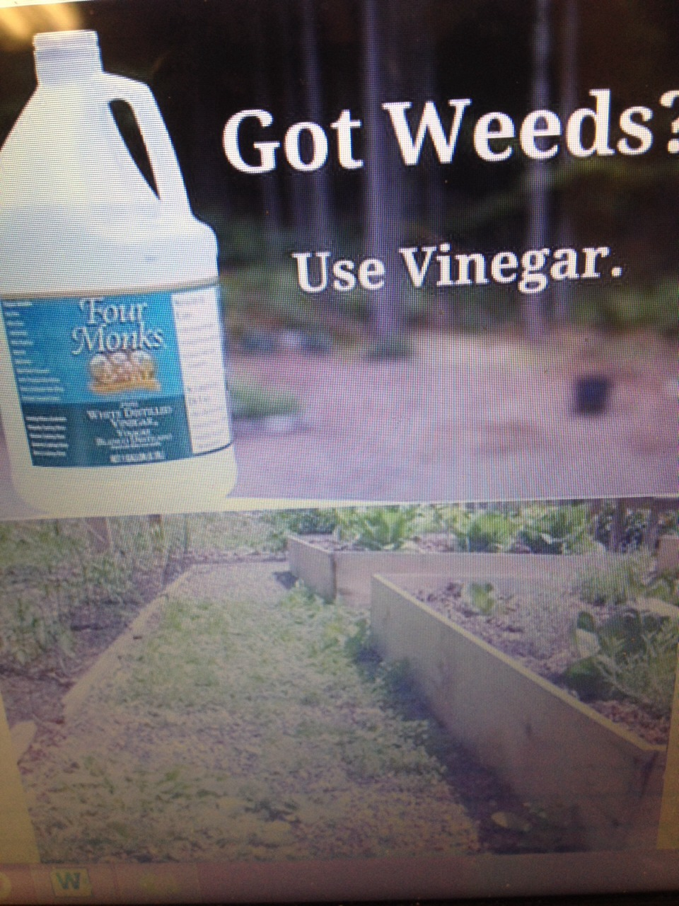 Got weeds use vinegar trusper - Get rid weeds using vinegar ...
