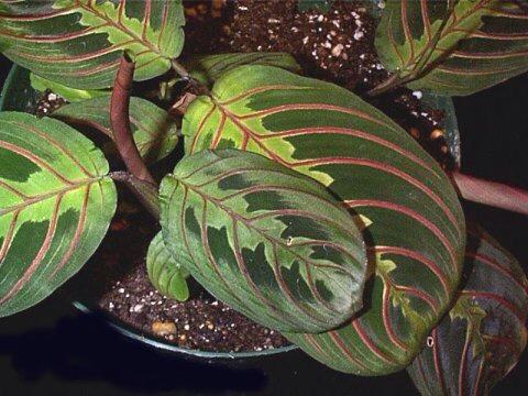 13 good plants for serial plant killers trusper for Prayer palm plant
