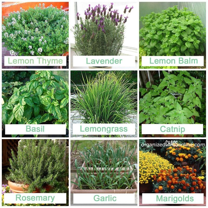 9 Plants That Repel Mosquitos Trusper