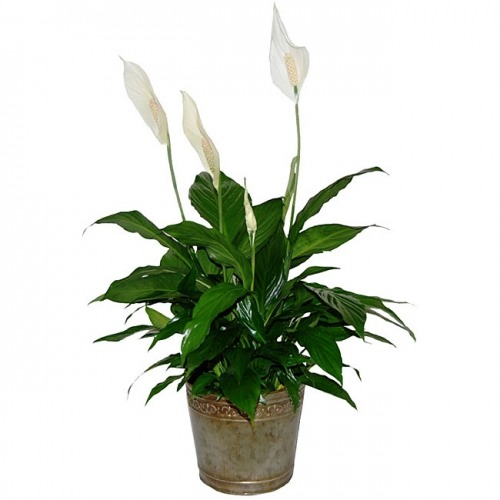 Air Purifying Plants For Bathroom: 6 Air Purifying House Plants