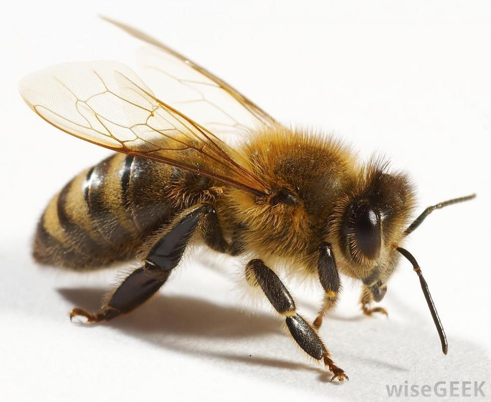 How to Get Rid of House Flies How to Get Rid of a Bee in