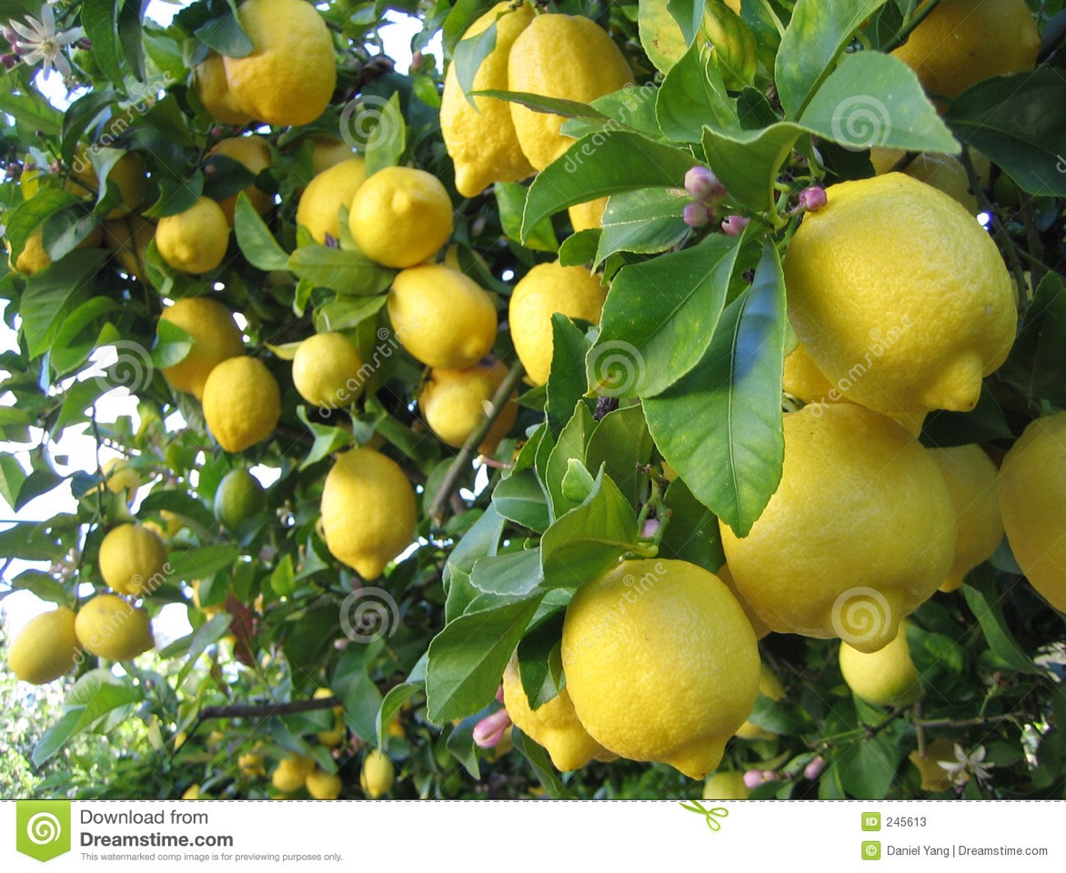 Grow your own lemon tree from seeds trusper for What does a lemon tree seedling look like