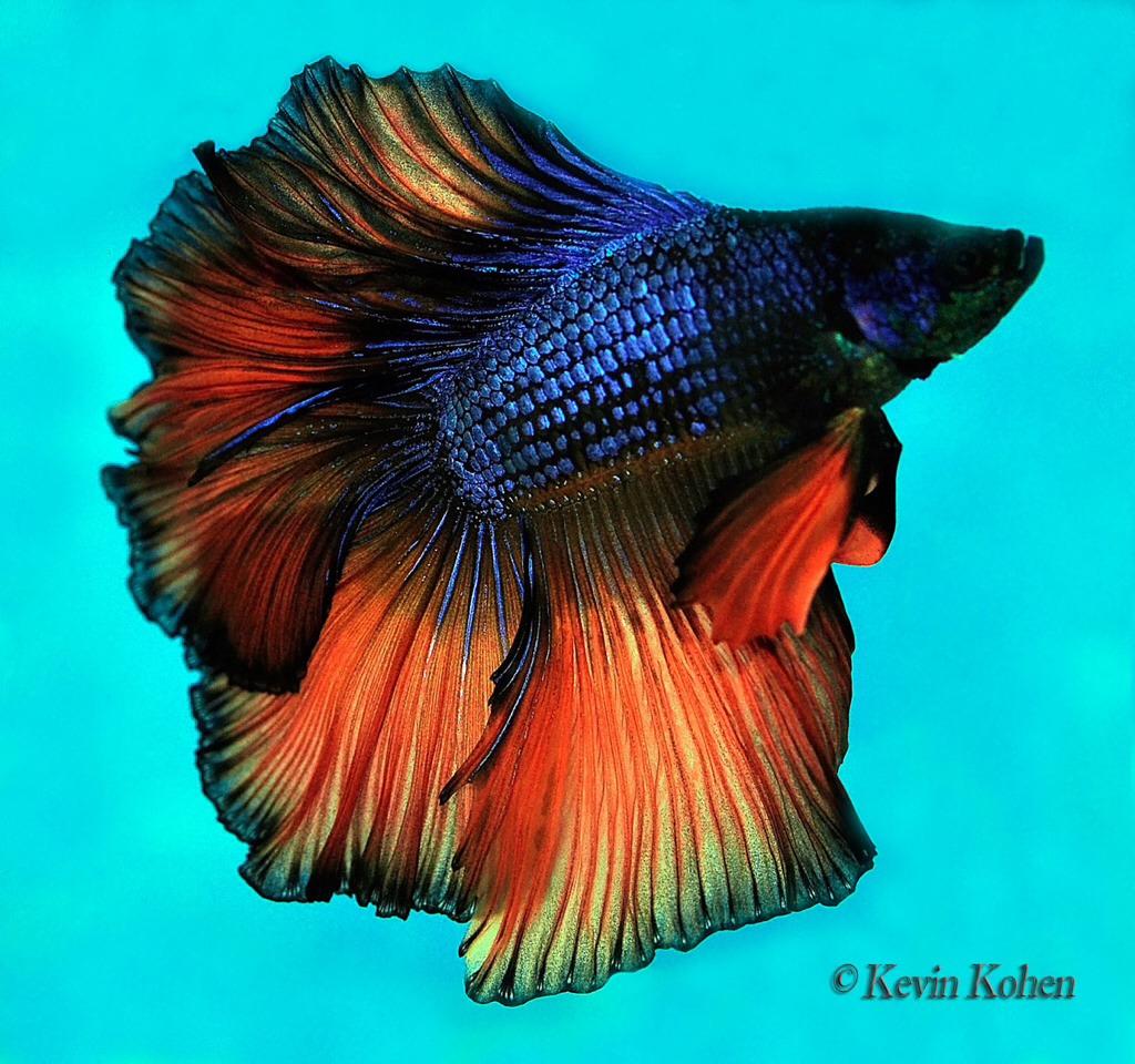 Comparison of male and female betta fish trusper for Pictures of female betta fish