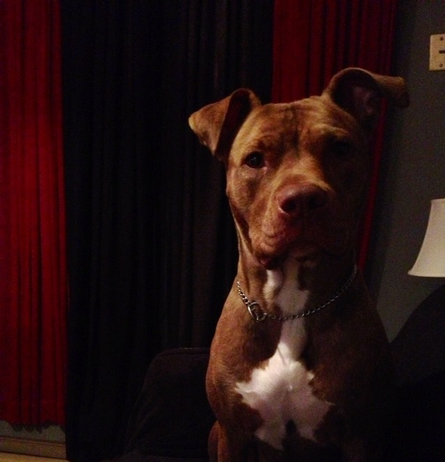 Kima Is The Cutest Pitbull... Like To Show Ur Against Pit. Descremination!!