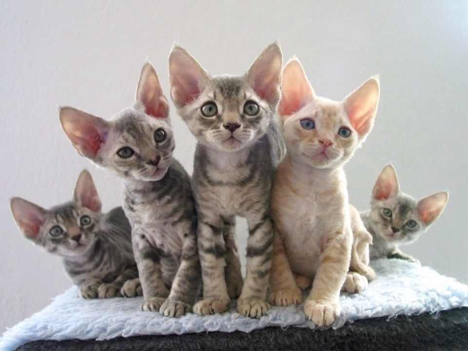 Low Allergenic Breeds Of Cats