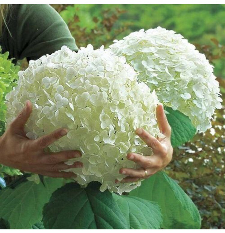 how to grow climbing hydrangea from cuttings