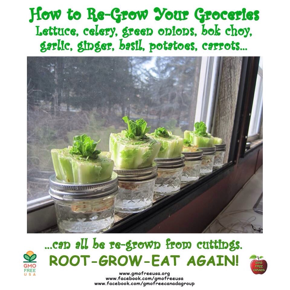 10 Vegetables You Re Grow From Kitchen Scraps: Regrow Lettuce, Carrots, Bok Choy, Green Onions, Garlic