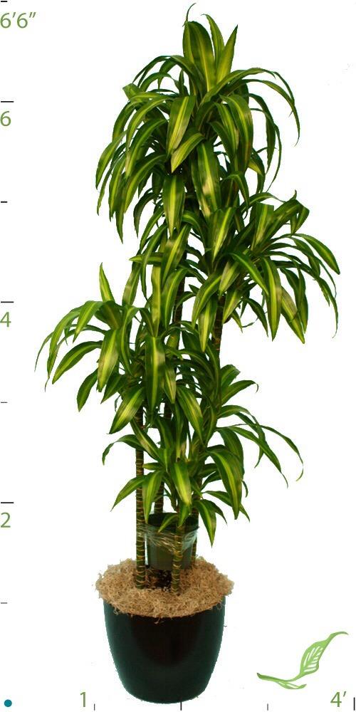 How To Care For Your Dracaena Dragon Tree Plant Trusper