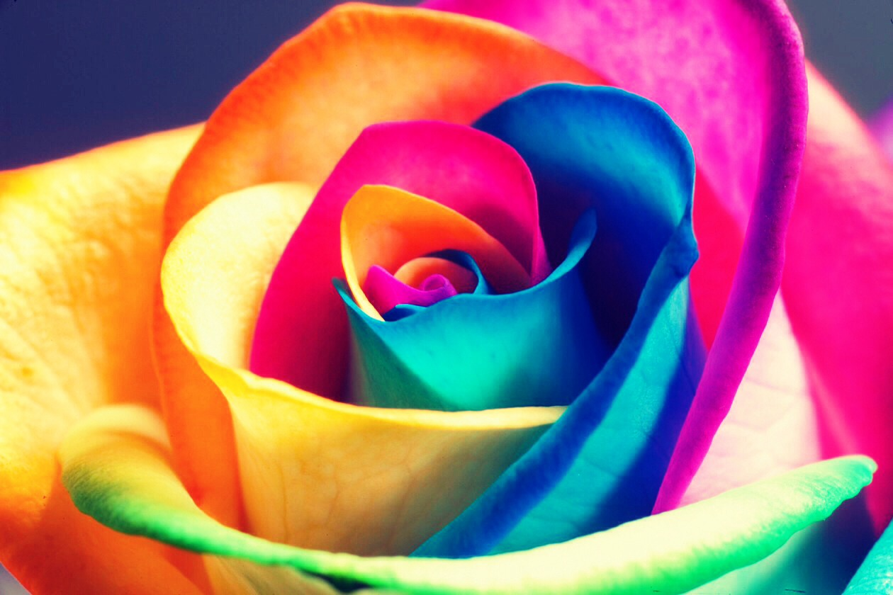 Rainbow roses trusper for How to color roses rainbow