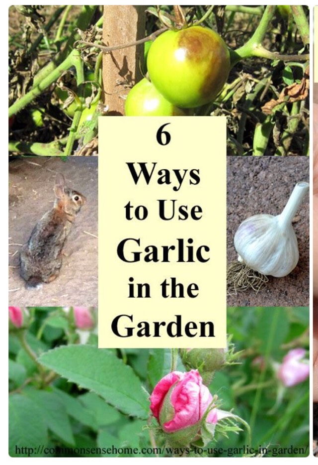 How To Turn One Garlic Bulb Into Lots Of Garlic Bulbs Trusper