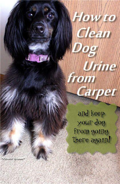 How To Clean Dog Urine From Carpet And Keep Your Dog From Peeing On The Carpet Again
