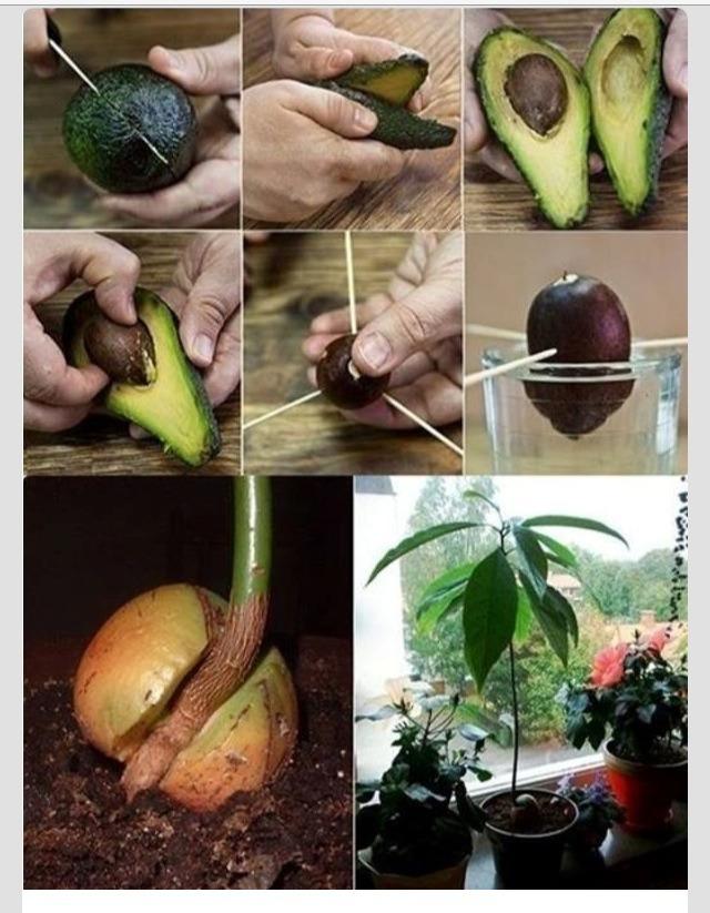 🌰🌱How To Grow An Avocado Tree🌱🌰