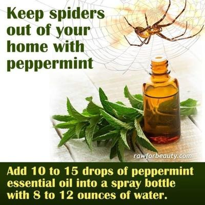 Spider repellent you can also add these essential oils lavender citrus tea tree and - Home remedies to keep fleas away ...