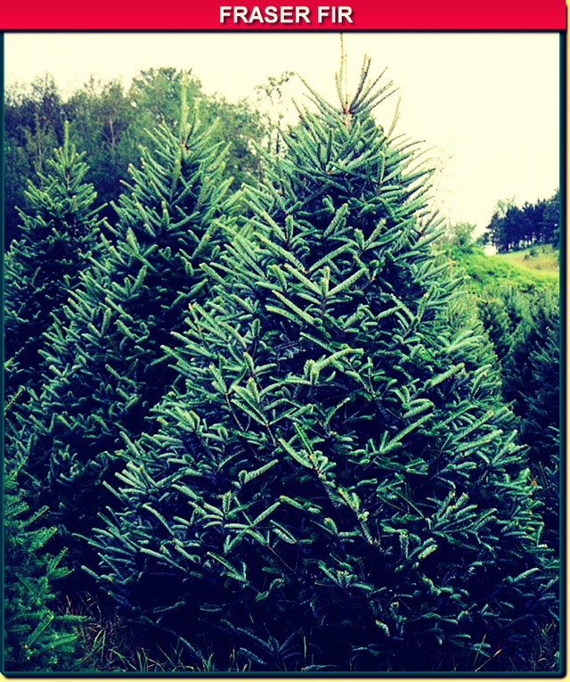Keep Your Xmas Tree Green!