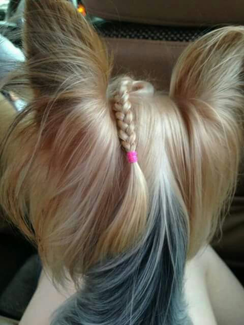yorkie haircuts images beautiful dogs with braids trusper 3073
